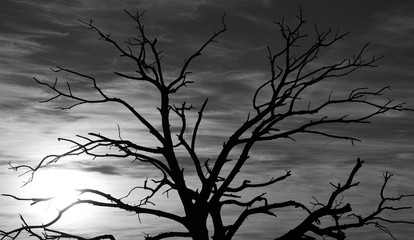 Backlit dry tree at sunrise with monochrome effect