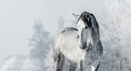Wall Mural - Portrait of Spanish thoroughbred grey horse in winter forest.