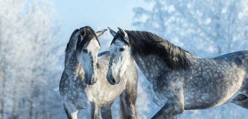 Wall Mural - Portrait of two spanish grey stallions in winter forest