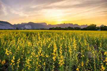 beautiful sunset scene view at sunhemp flowers field