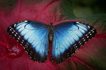 Common Blue Morpho Butterfly -  Morpho peleides