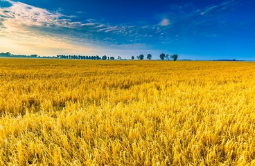 Early morning on rye field. Cereal fields in Poland.