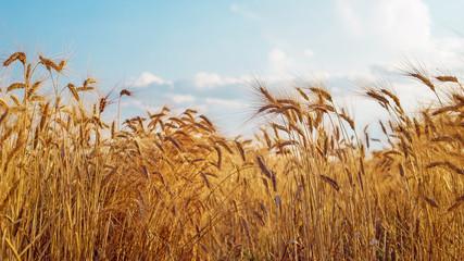 Wall Mural - Altın renkli buğday tarlası