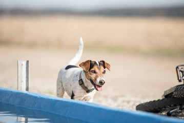Hund am Wasserbecken - Jack Russell Terrier