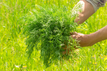 Dill in hand. Hands gardener. Work-worn hands. Farmers hands with freshly dill. Freshly picked vegetables. Unwashed dill.