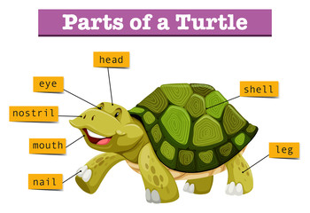 Different parts of turtle