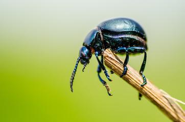 Beetle o3