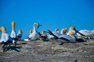 Colony of gannets, New zealand