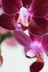 Purple Phalaenopsis Orchid Flower Macro