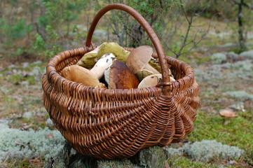 basket with mushrooms on a stump in the forest