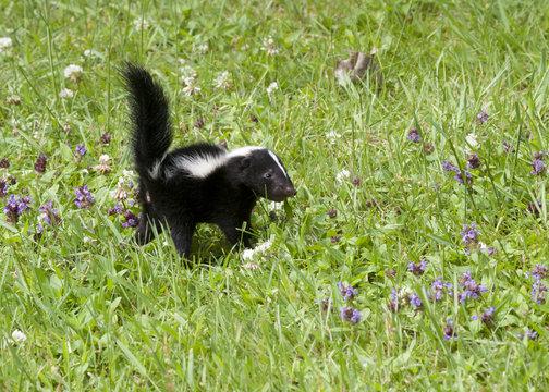 Skunk in little purple wildflowers