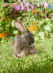 Black Rabbit washes on the lawn next to flowers