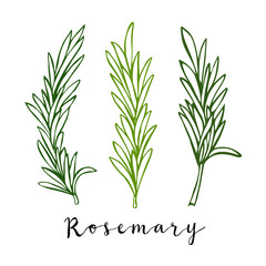 Hand drawn colo\\red rosemary in vector