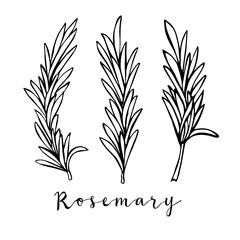 Hand drawn rosemary in vector