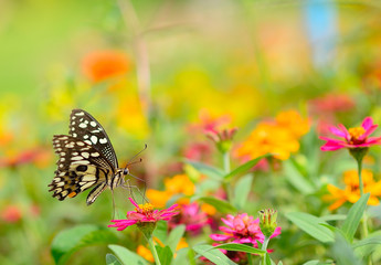 Butterfly on orange flower in the garden with copy space.