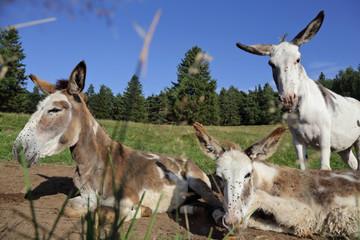 trois ânes alsaciens dans pré de montagne