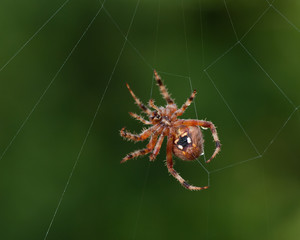 Orb Weaver or Garden Spider. Macro shot of a spider creating a spider web. Photo taken iCalifornia.