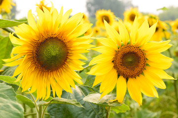 Beautiful sunflowers blooming on the field