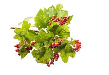 branch of viburnum