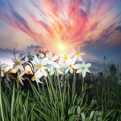 Wall Mural - Valley of daffodils, Hust