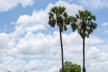 sugar palm, clouds and sky in the background.