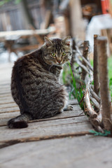 A fat tabby cat sitting on a wooden flooring looking over should