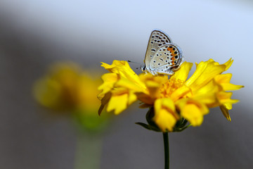 Dotted Blue Butterfly on Coreopsis, aka Tickseed