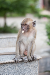 Monkeys portrait in temple of Thailand.