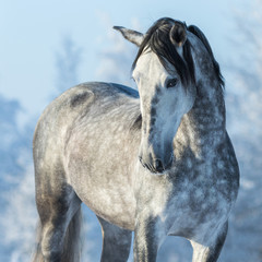 Fototapete - Portrait of thoroughbred gray stallion in winter forest on a blu