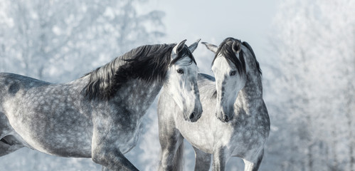 Wall Mural - Two thoroughbred gray horses in winter forest.