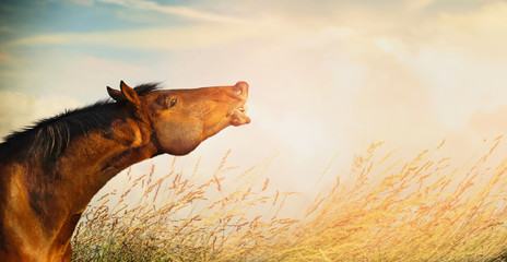 Beautiful horse head of  smiling horse on  summer or autumn field grass and sky background, banner