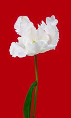 Beautiful view of white tulips