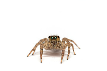 Jumping spider isolated over white. Macro photo