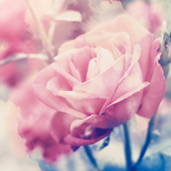 Floral background with pale pink roses. Color toning filter applied.