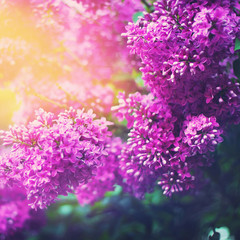 Lilac flowers in spring garden in sunny day. Bright nature beauty. Color toning effect applied.
