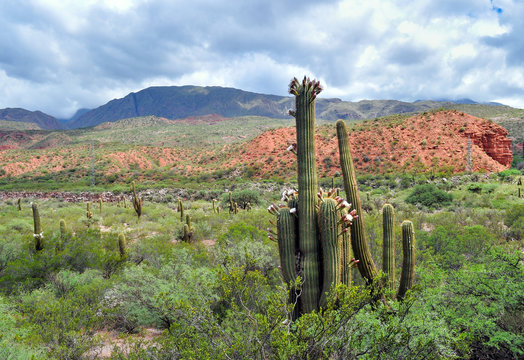 Argentine Giant Cactus, Echinopsis candicans