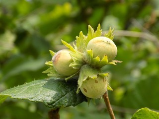 Immature hazelnuts on tree in forest