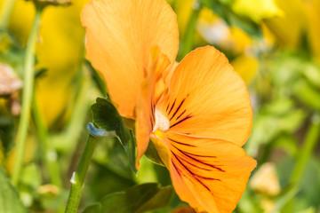 オレンジ色のビオラ