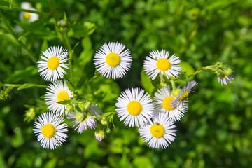 White flower closeup on green field