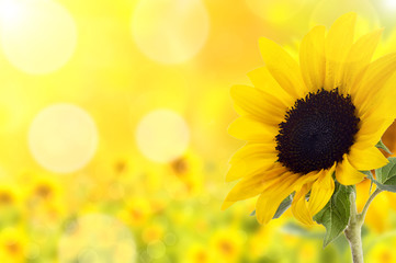 Hintergrund Sonnenblume mit Bukeh