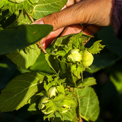 hazelnuts in ripening on a branch of the countryside