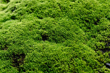 Close Up : Green moss on concrete floor background texture with selective focus, Image filter effect.