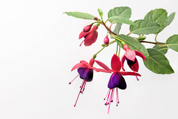Closeup view of the colorful fuchsia flower wth green leafs. Isolated on the white background