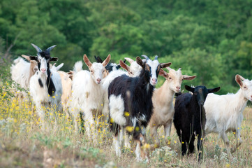 Goats on a pasture in the summer