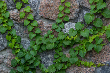 Green ivy liana climbs on brick wall-  background