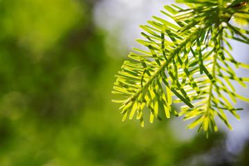 Beautiful pine leaf from turkey