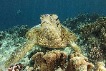 Green Sea Turtle and coral reef in ocean