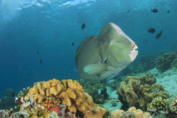 Fish on coral reef: Bumphead Parrotfish