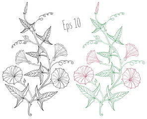 Branch of the beautiful and gentle field bindweed (Convolvulus arvensis) with flowers, leaves, tendrils and buds. Hand drawing, black and white and color, isolated on background.