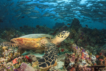 Turtle, coral reef and fish